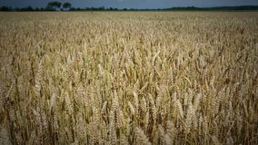 Dutch Wheat Field. Golden wheat field close to harvest time Stock Photos