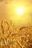 Golden Wheat field close up Stock Photo