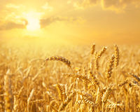 Golden Wheat field close up Royalty Free Stock Image