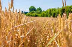 Golden wheat field. Royalty Free Stock Photography
