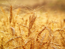 Golden wheat field close up Royalty Free Stock Photo