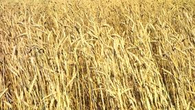Golden wheat field stock video