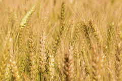 Golden wheat field. Golden wheat close up, Background of ripening Stock Image