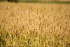 Golden wheat field. Golden wheat close up, Background of ripening Royalty Free Stock Images