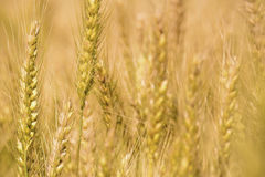 Golden wheat field. Golden wheat close up, Background of ripening Royalty Free Stock Image