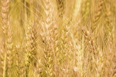 Golden wheat field. Golden wheat close up, Background of ripening Stock Photography