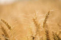 Golden wheat field. Golden wheat close up, Background of ripening Royalty Free Stock Photos