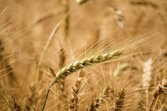 Golden wheat field. Golden wheat close up, Background of ripening Stock Photo