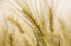Golden Wheat field close up nature agriculture cornfields. Details royalty free stock photography