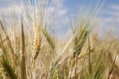 Golden Wheat field close up nature cornfields. Golden Wheat field close up nature agriculture cornfields royalty free stock photos