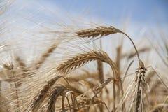 Golden Wheat field close up nature cornfields. Golden Wheat field close up nature agriculture cornfields stock photography
