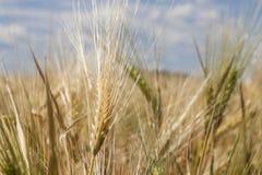 Golden Wheat field close up nature cornfields. Golden Wheat field close up nature agriculture cornfields stock photo