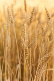 Golden wheat in a field Royalty Free Stock Photography