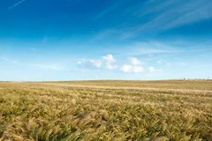 Golden wheat field with clouds Stock Photography