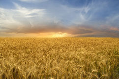 Golden Wheat Field Stock Photo