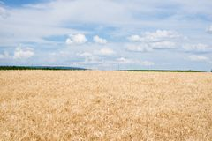 Wheat field in a country side. Golden wheat field in a country side, ready for harvest Royalty Free Stock Photo