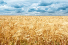 Golden wheat field with dramatic storm clouds Royalty Free Stock Photo