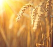 Golden wheat field. Ears of wheat closeup stock image
