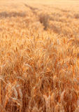Golden wheat field in the evening. Outdoors Stock Image