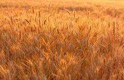 Golden wheat field in evening sunlight Stock Photo