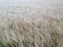 Golden wheat field facing away from camera Royalty Free Stock Photo