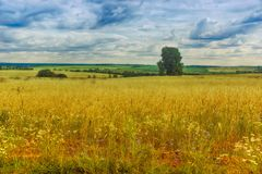 A golden wheat field. gave the blue. Cumulus clouds. Same royalty free stock photography