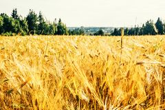 Golden wheat field with green forest. In background stock photography