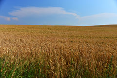 Golden wheat field before harvest Stock Image