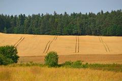 Golden wheat field before harvest Stock Image
