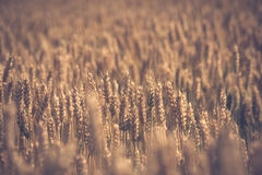 Golden wheat field before harvest Royalty Free Stock Photography