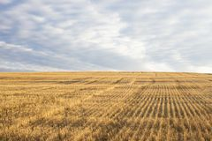 Yellow wheat field on a hill after harvest royalty free stock photography