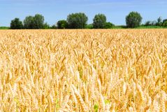 Golden wheat field in holland Stock Photo