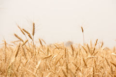 Golden wheat field in india Stock Images