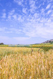 Golden wheat field isolated on blue sky . Stock Photo