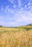 Golden wheat field isolated on blue sky . Stock Photo