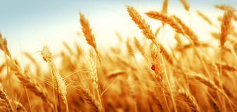 Golden wheat field and ladybug Stock Image