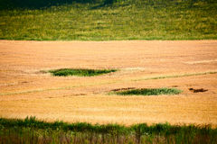 The golden wheat field on the meadow Stock Photography