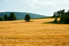 The golden wheat field Stock Photography