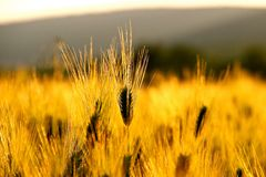 Golden Wheat Field. Picture is illustrating field of wheat in the country side of Pensilvania Royalty Free Stock Image