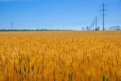 Golden Wheat Field and Power Line stock images