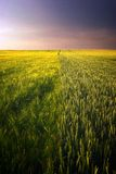 Golden wheat field and purple cloudy sky Royalty Free Stock Photos