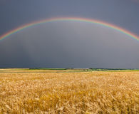 Golden wheat field with rainbow Royalty Free Stock Image