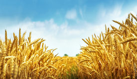 Golden wheat field ready for harvest Stock Photos