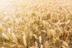 Golden wheat field ready to be harvested. Stock Image