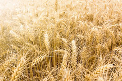 Golden wheat field ready to be harvested. Royalty Free Stock Photography