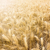 Golden wheat field ready to be harvested. Stock Photos