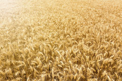 Golden wheat field ready to be harvested. Royalty Free Stock Photos