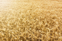 Golden wheat field ready to be harvested. Stock Photo