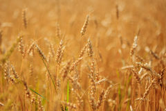 Golden wheat field ready to harvest Stock Images