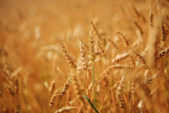 Golden wheat field ready to harvest Stock Image